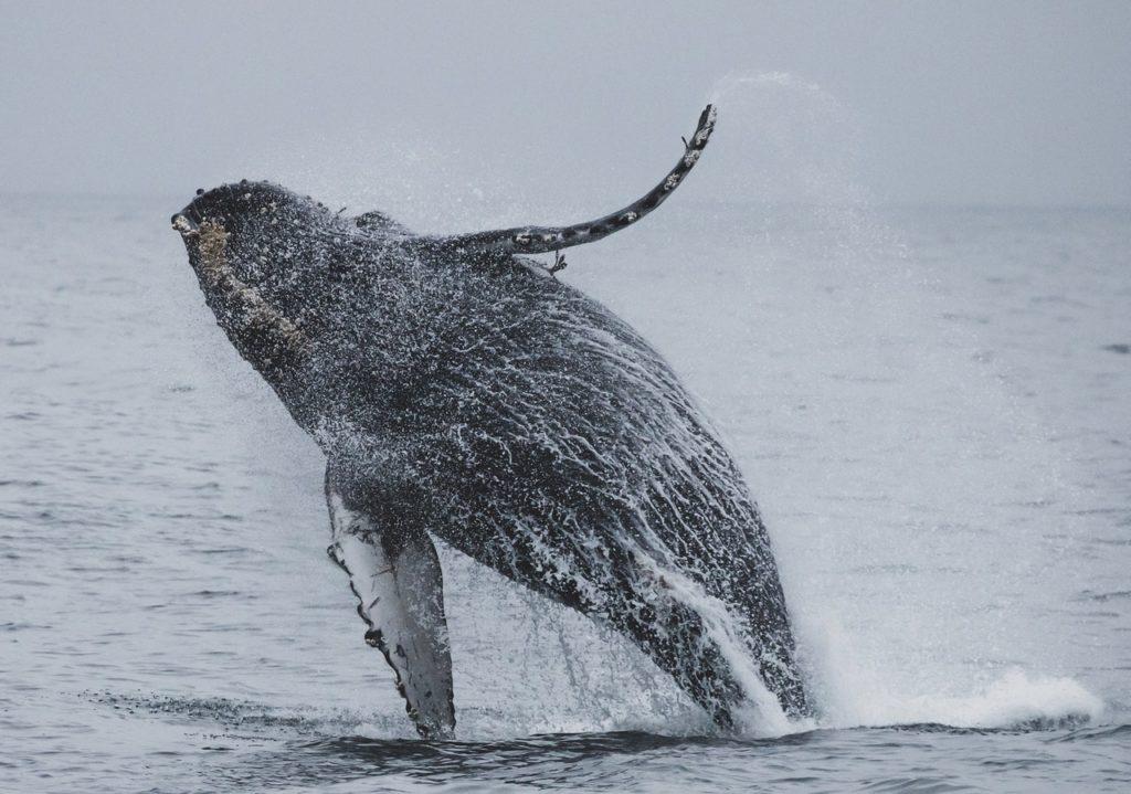 Maui_Tours_whale_watching